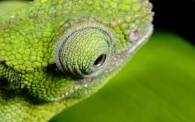 Обои макро, зеленый, глаз, хамелеон