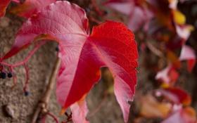 Картинка осень, лист, ягоды, виноград, лоза