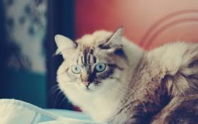 Обои кошка, кот, морда, кошки, фон, обои, wallpapers