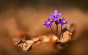 Обои осень, цветок, листья, растение, сухие, фиалка, кустик