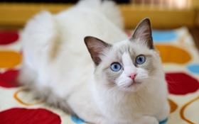 Картинка кошка, глаза, взгляд, фон