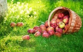 Картинка яблоки, корзина, трава