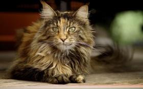 Картинка кошка, лежит, пушистая, трехцветная