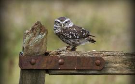 Картинка сова, птица, забор