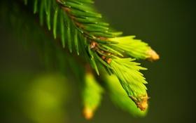 Картинка макро, иголки, ель, ветка, зеленые