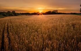 Обои поле, небо, солнце, пейзаж, колоски