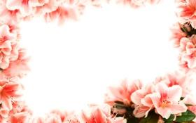 Обои фото, Цветы, Крупным планом, Азалия