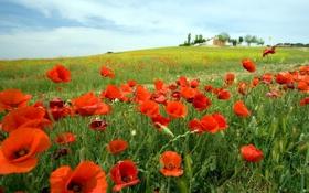 Картинка цветы, природа, маки, маковое поле