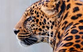 Картинка морда, хищник, леопард, профиль