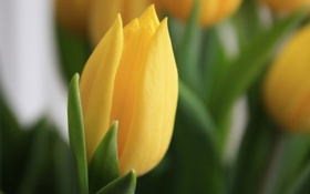 Обои цветок, желтый, весна, Тюльпан, макро, фокус, цветы