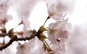 Картинка весна, розовые, цветение, лепестки, светлые, сакура, вишня
