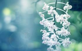Обои макро, белые, soft orchids