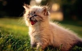 Обои пушистый, пищит, светлый котенок