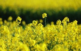 Картинка поле, лето, природа, рапс