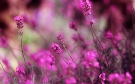 Обои лаванда, макро, цветы