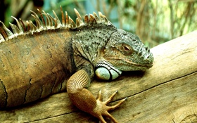 Картинка Iguana, reptile, scales, legs and eyes