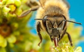 Обои насекомое, пчела, боке, цветы