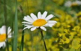Картинка природа, Цветы, растения, ромашка