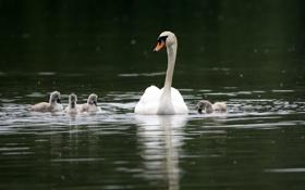 Обои семья, лебедь, лебеди, водоём, лебедята