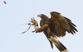 Обои птица, полёт, орёл, тренировка