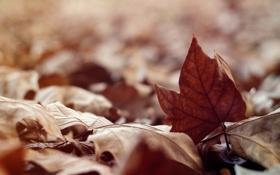 Картинка осень, листья, сухие, клен