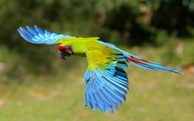 Обои птица, крылья, попугай, полёт, Солдатский ара