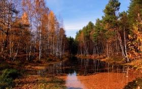 Обои березы, лес, река, фото, природа, осень
