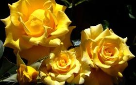 Картинка листья, солнце, свет, цветы, розы, желтые, лепестки