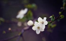 Картинка макро, цветы, ветки, вишня, ветка, весна, лепестки