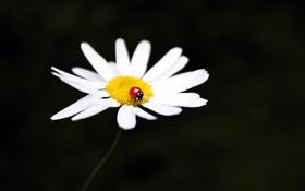 Картинка макро, цветы, насекомые, ромашки, лепестки, ромашка, насекомое