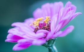 Обои цветок, макро, сиреневый, лепестки, тычинки