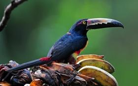 Обои птица, клюв, бананы, тукан