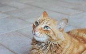 Картинка кот, рыжий, взгляд, усы