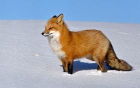 Картинка снег, лиса, профиль, лисица