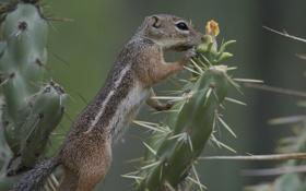 Картинка иголки, кактус, суслик, Антилоповый суслик Харриса