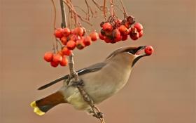 Обои свиристель, птица, красные, фон, ветка, ягоды