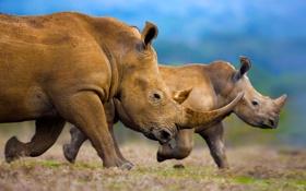 Обои семья, Африка, рог, белый носорог