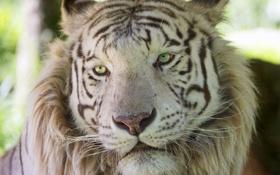 Обои кошка, морда, белый тигр, ©Tambako The Jaguar