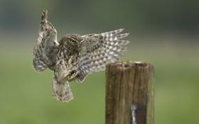 Картинка сова, птица, пень, крылья, посадка