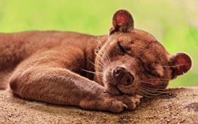 Картинка мордочка, спит, фосса