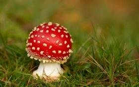 Картинка трава, красный, гриб, мухомор, крапинка