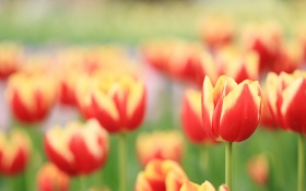 Обои лето, размытость, поляна, тюльпаны, стебли, природа, яркие