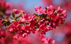 Обои цветение, яблоня, ветка, макро