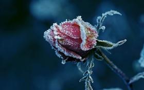 Обои иней, роза, бутон, littl3fairy, so cold
