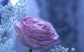 Картинка цветы, блики, роза, веточки