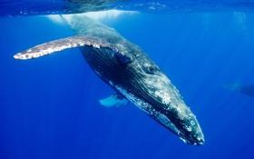 Обои вода, океан, кит, погружение