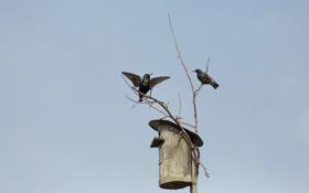 Обои дом, птицы, скворец