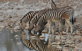 Обои природа, зебра, Африка, водопой