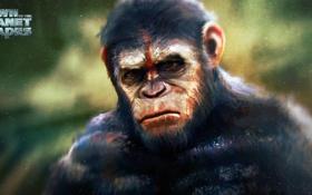 Обои обезьяна, примат, caesar, Планета обезьян: Революция, Dawn of the Planet of the Apes