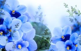 Обои Light, Blue, Синие, фиалки, Violets